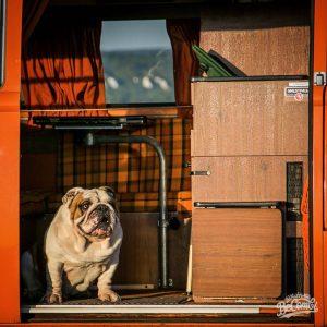 vwcamper vw volkswagen englishbulldog bulli bulldog westfalia