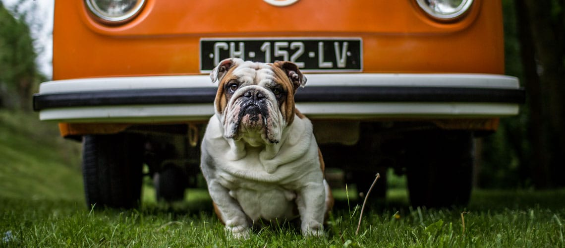 Un Bulldog en VW Bulli   Be Combi