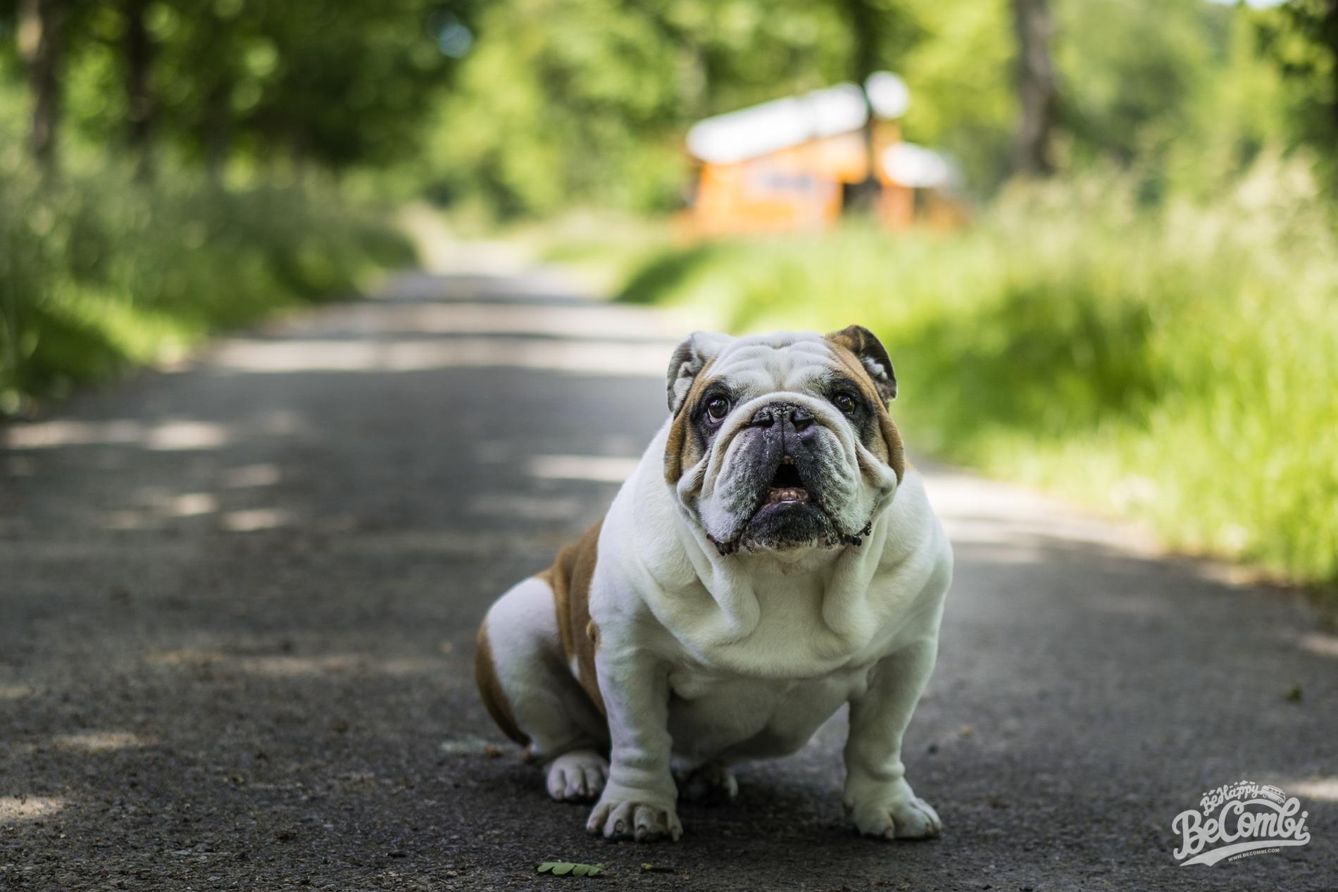 Helmut le Bulldog - Sortie en VW Combi - BeCombi